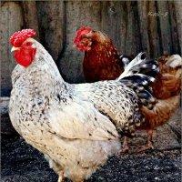 Предновогоднее: был цыпленок, стал петух... :: Кай-8 (Ярослав) Забелин