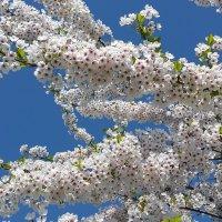 Сакура в цвету. :: Tatjana