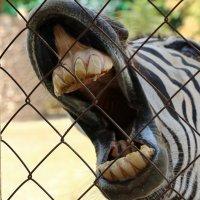 Классные зубки у зебры! :: Светлана