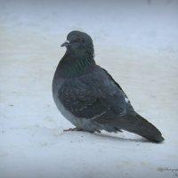 одинокий голубь :: Анна Шишалова