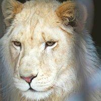 Годовапый белый лев Мартин :: Елена Малкова