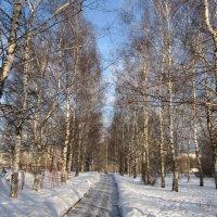 Берёзовая аллея в декабре :: Дмитрий Никитин