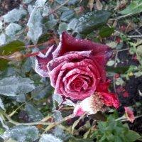 Морозная роза :: Ярослав Харченко