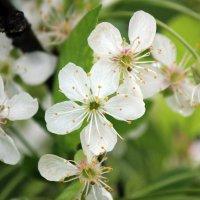 Ждем  весну ! Черешня  в  цвету ! :: Виталий Селиванов