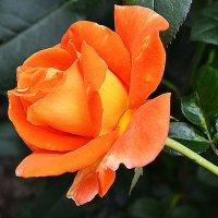 Оранжевая роза :: Татьяна