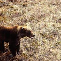 Живой медведь!!! :: Юрий Петров