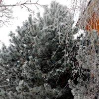 Мороз посеребрил деревья... :: Тамара (st.tamara)