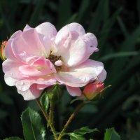 Розы лета :: Наталья Джикидзе (Берёзина)