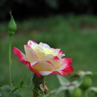 Розы лета :: Наталья (D.Nat@lia) Джикидзе (Берёзина)