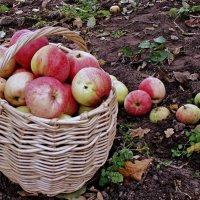 яблочное лето :: Елена Малкова