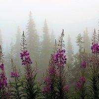 Росное утро иван-чая :: Сергей Чиняев