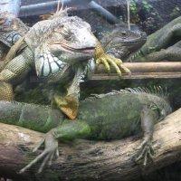 Национальный зоопарк Бангкока. Тихий час игуан. :: Лариса (Phinikia) Двойникова