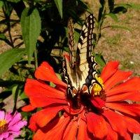 махаон- цветок в цветке :: Александр Прокудин