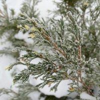 Мороз на иголках... :: Тамара (st.tamara)