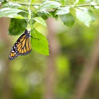 бабочка Монарх :: Мария Самохина