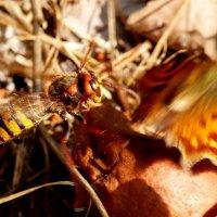 оса атакует бабочку :: Александр Прокудин