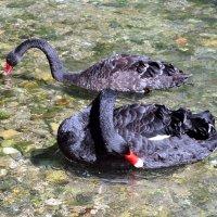 Чёрные лебеди :: Vladimir Lisunov