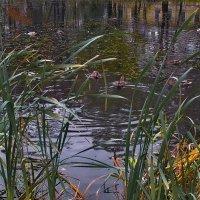 Утки на Малом пруду Орловского парка :: Владимир Ильич Батарин