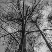 Деревья :: Aleksandr Shishin