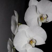 орхидеи :: Анна Шишалова