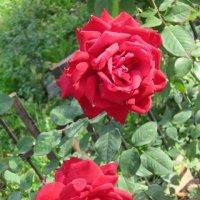 Две розы алых-алых - это любовь! :: Дмитрий Никитин
