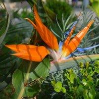 Оранжевый цветок с острыми лепестками. :: Оля Богданович