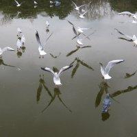 Чайки и примкнувший к ним голубок! :: Александр Скамо