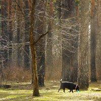 Апрель в сосновом лесу :: Нина