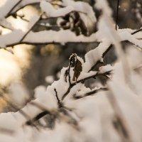 кустик под снегом :: Алексей Горский