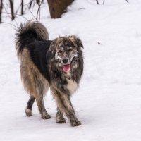 Фотомодель или собака-иноходец. :: Владимир Безбородов