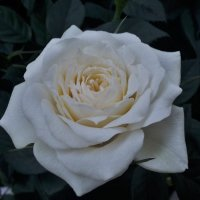 роза :: kuta75 оля оля