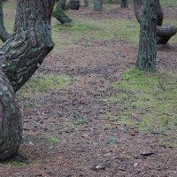 Танцующий лес Куршской косы 2 :: Марина Домосилецкая