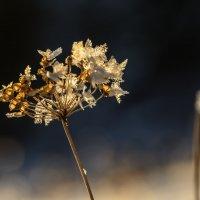 Снежные цветы в закате :: Елена Вторушина