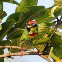 Медник барбет (Coppersmith barbet) :: Тарун Дас