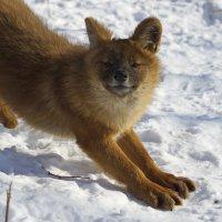 я злой и страшный красный волк, я в поросятах знаю толк) :: Эдуард Куклин