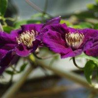 Последнее цветение этого клематиса :: Galina Belugina