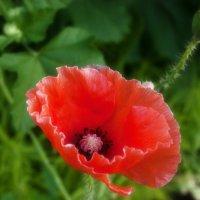 Аленький цветочек. :: Svetlana