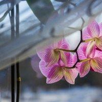 Орхидея в январе. :: Владимир Буравкин