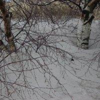 Не снег, а белый песок заметает березы :: Марина Домосилецкая