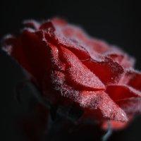 Снежная роза :: Татьяна Тимофеева