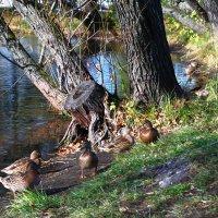 Утки на озере :: lapin_valerei@mail.ru