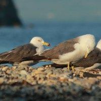 Чайки :: Андрей Щинов