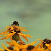 шмель на цветке :: Константин Поляков