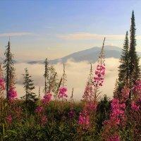 Июльское утро с иван-чаем :: Сергей Чиняев