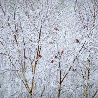 Снегири :: Валерий Талашов