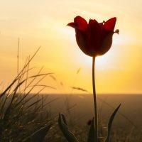 Тюльпан на закате :: Ксения Репина