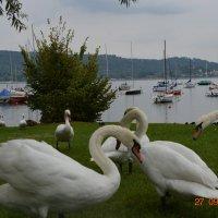 Лебеди :: NataliD24