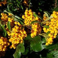 Жёлтые ягоды :: Светлана Щербакова