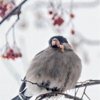 самка снегиря за обедом :: petyxov петухов