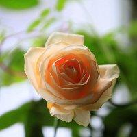 цветы на подоконнике-роза :: Олег Лукьянов